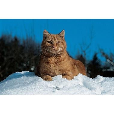 Chat dans la neige, toile, 24 x 36 po