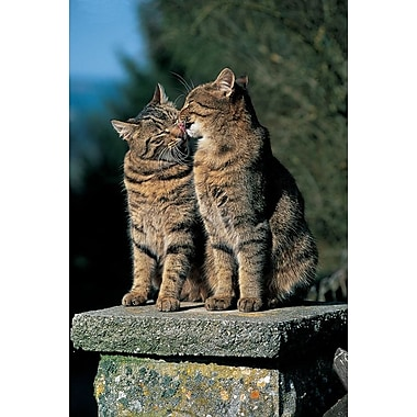 Two Cats On A Wall, Stretched Canvas, 24