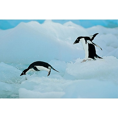 Antarctic Adelie Penguins, Stretched Canvas, 24