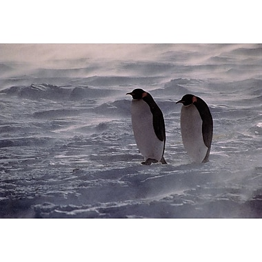 Penguins Waiting Out The Storm, Stretched Canvas, 24