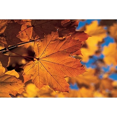 Golden Coloured Maple Leaf, Stretched Canvas, 24
