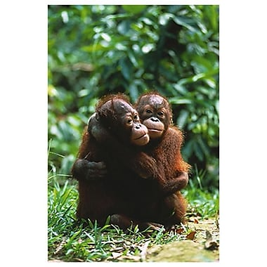 Orangutans, Stretched Canvas, 24