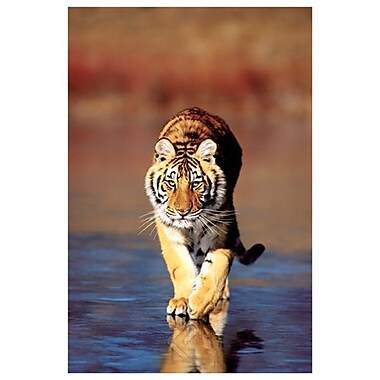 Tiger Walking, Stretched Canvas, 24
