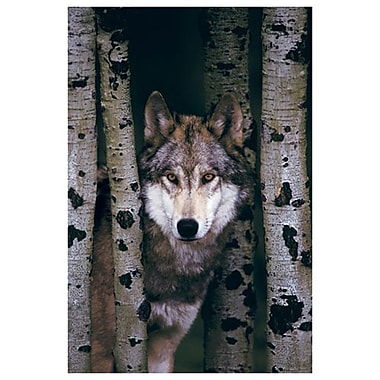 Gray Wolf, Stretched Canvas, 24