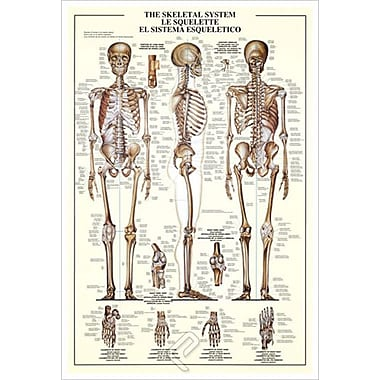 The Skeletal System, Stretched Canvas, 24