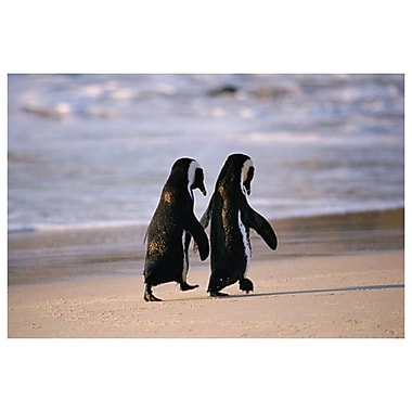 African Penguins, Stretched Canvas, 24