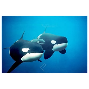 Killer Whales, Stretched Canvas, 24