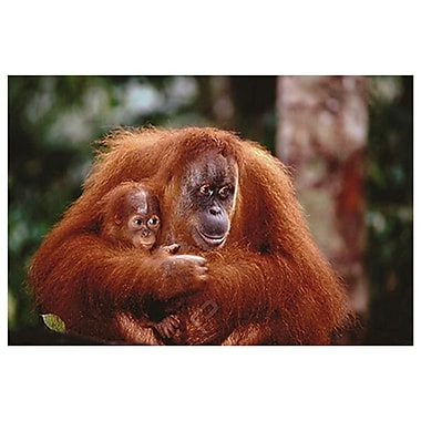Orangutan and Baby, Stretched Canvas, 24