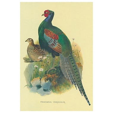 Pheasant Versicolor, Stretched Canvas, 24