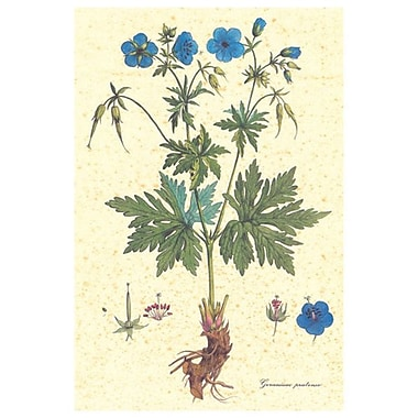 Geranium Pratense, Stretched Canvas, 24