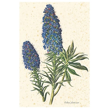 Echium Fastuosum, Stretched Canvas, 24