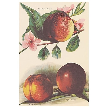 A Study Of Nectarines, Stretched Canvas, 24