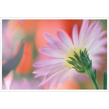 Silvery Aster by Connolly, Canvas, 24