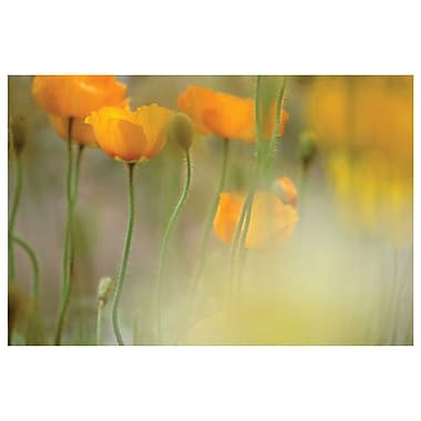 Orange Tulip Mist by Connolly, Canvas, 24