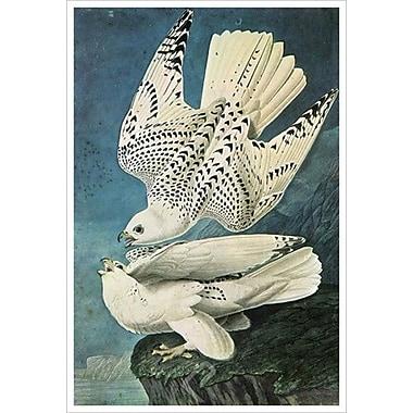 Caracara austral de Audubon, toile, 24 x 36 po