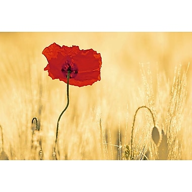 Perfectly Red Poppy Flower, Stretched Canvas, 24