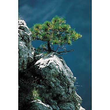 A Cedar Rocky Outcrop, Stretched Canvas, 24