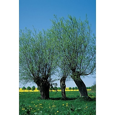 Willows In The Spring, Stretched Canvas, 24