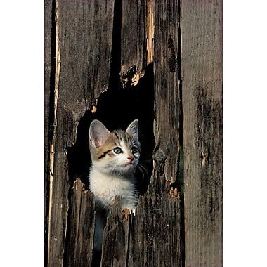 Kitten Peeking Hole In Barn, Stretched Canvas, 24