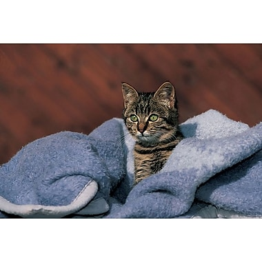 Kitten On A Blue Blanket, Stretched Canvas, 24