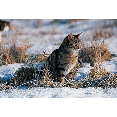 Cat Hunting In The Snow, Stretched Canvas, 24