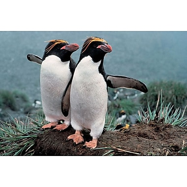 Pair Of Rock-Hopper Penguins, Stretched Canvas, 24