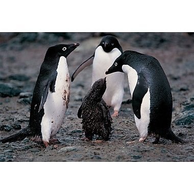 Adelie Penguin Family, Stretched Canvas, 24