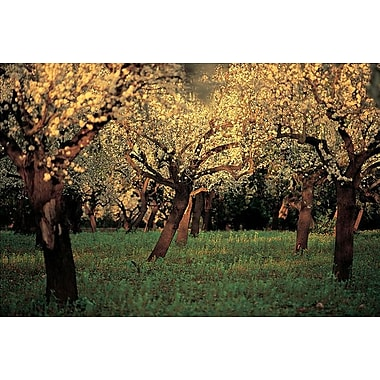 Apple Trees In The Sunset, Stretched Canvas, 24