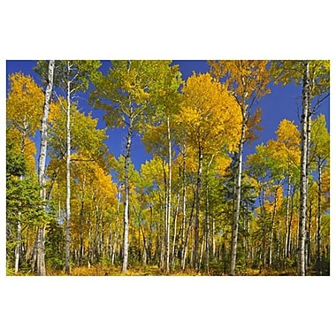 Trembling Aspens by Grandmaison II, Canvas, 24