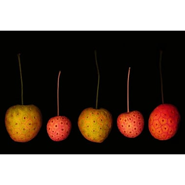 Fruits red yellow dogwood Kouza by Klein, Canvas, 24