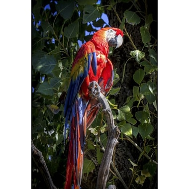 Macaw by Polk, Canvas, 24