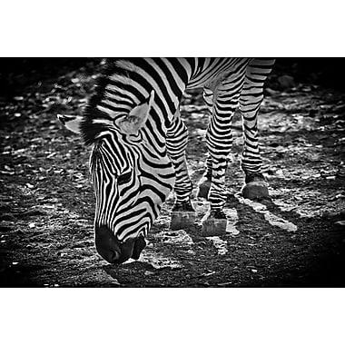 Zebra by Polk I, Canvas, 24
