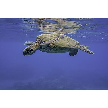 Maui Green Turtle, Canvas, 24