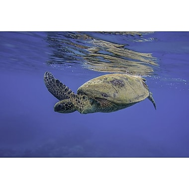 Maui Green Turtle by Polk, Canvas, 24