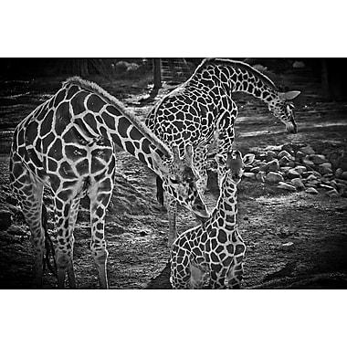 Girafes en noir et blanc de Polk, toile, 24 x 36 po