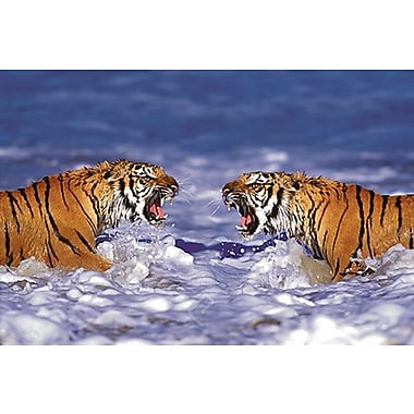 Bengal Tigers Roaring Poster, 24