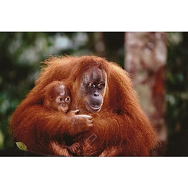 Orangutan Mother and Baby Poster, 24