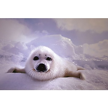 Seal Pup Poster, 24