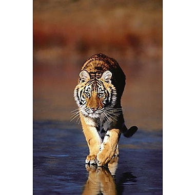 Tiger Walking Poster, 24