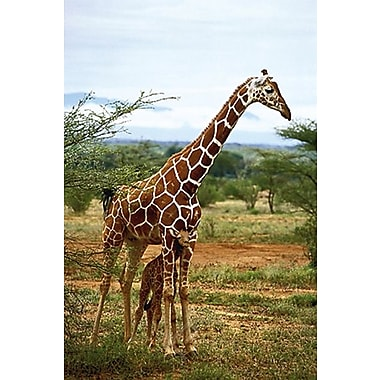 Giraffe and Baby Poster, 24