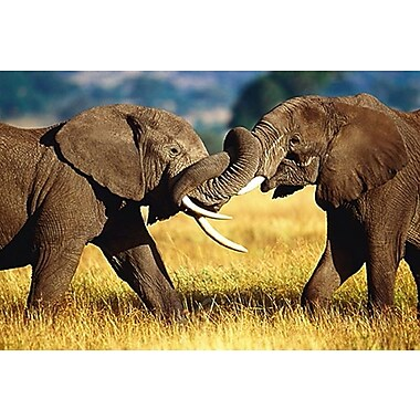 African Elephants Sparring Poster, 24