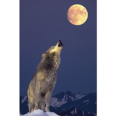 Gray Wolf Howling at Moon Poster, 24