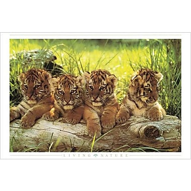 Tiger Cubs Poster, 24