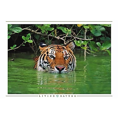 Tiger in Water Poster, 24