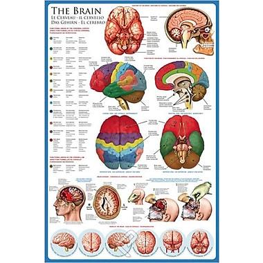 Le cerveau, affiche, 36 x 24 po