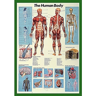 The Human Body Poster, 26.75