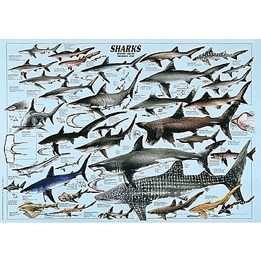 Sharks Poster, 26 3/4