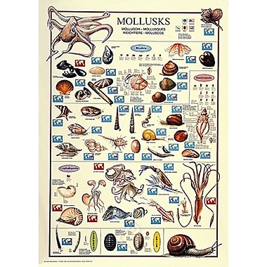 Mollusks Poster, 26 3/4