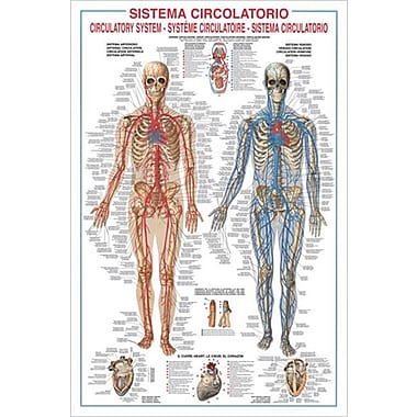 Circulatory System Poster, 26-3/4