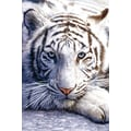 Ace Framing in.White Tiger Siberian Safariin. Framed Poster, 36in. x 24in.